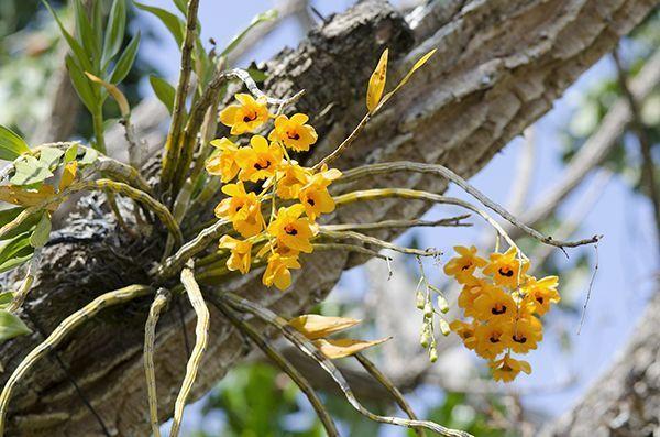 Des orchidées au Costa Rica.