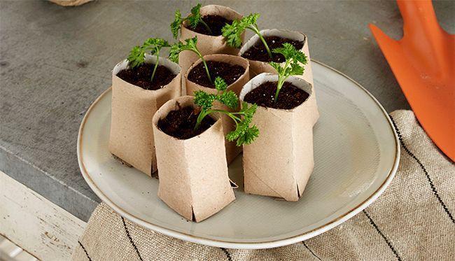 Des semis de plante dans des rouleaux de papier toilette.