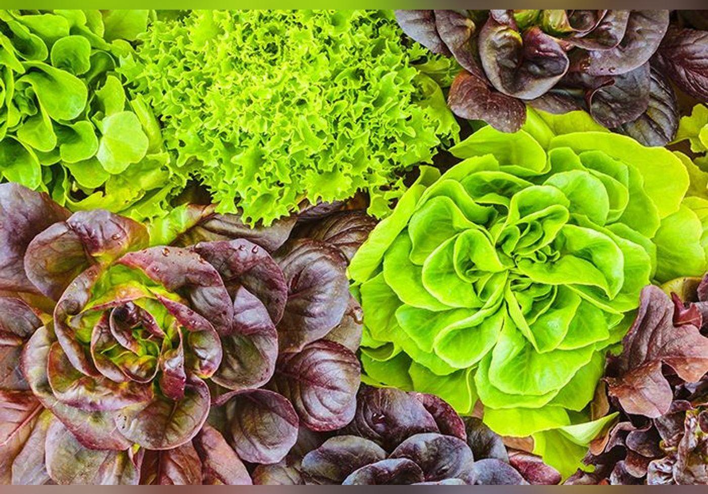 Cette astuce simplissime permet de conserver une salade un mois au réfrigérateur… Les feuilles restent croquantes et fraîches
