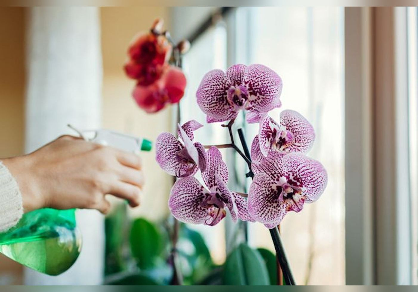 Voici des astuces pour garder votre orchidée belle toute l'année !