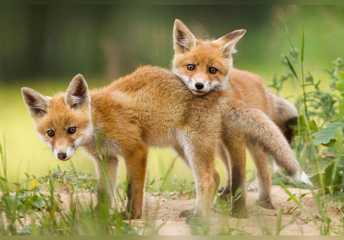 Lush lance une bombe de bain pour sauver 600 000 renards à la rentrée
