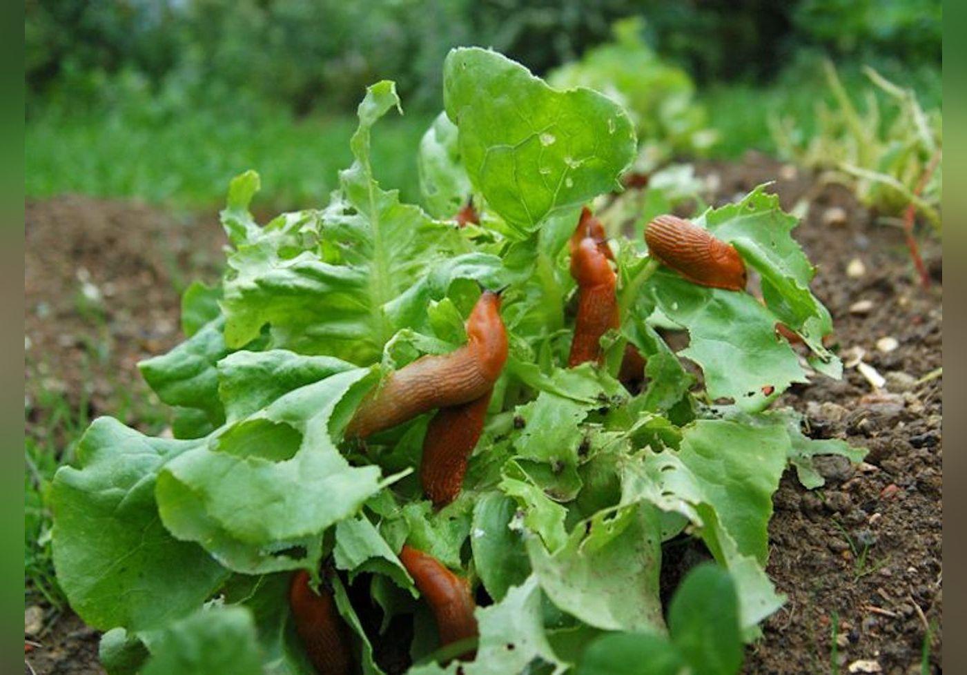 Le poivre est un répulsif efficace et naturel contre les indésirables de votre jardin !