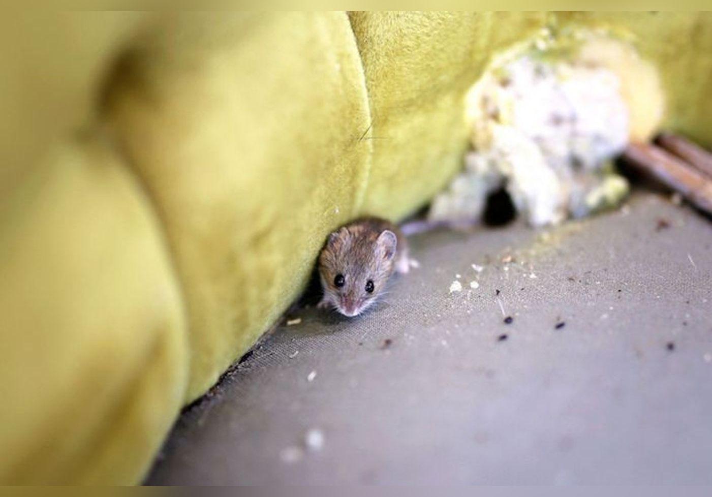 Voici des astuces imparables pour chasser les souris de votre domicile !